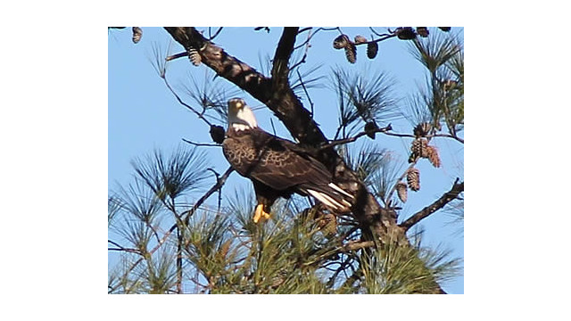 Bald Eagles At Berry College Under Video Surveillance
