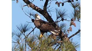 Bald Eagles At Berry College Under Video Surveillance